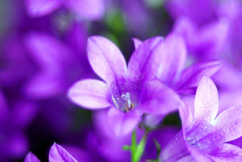 Neige magnifique de bleu de Bell de fleurs de cloche photographie stock