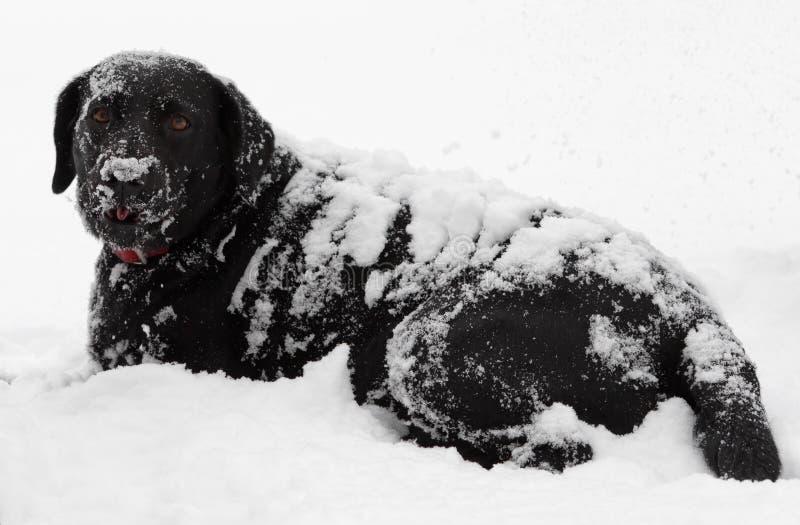 Neige noire de crabot de Labrador couverte image stock