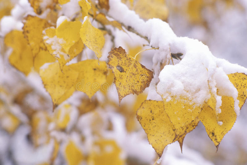 Neige sur Autumn Leaves, Boulder, le Colorado photographie stock libre de droits