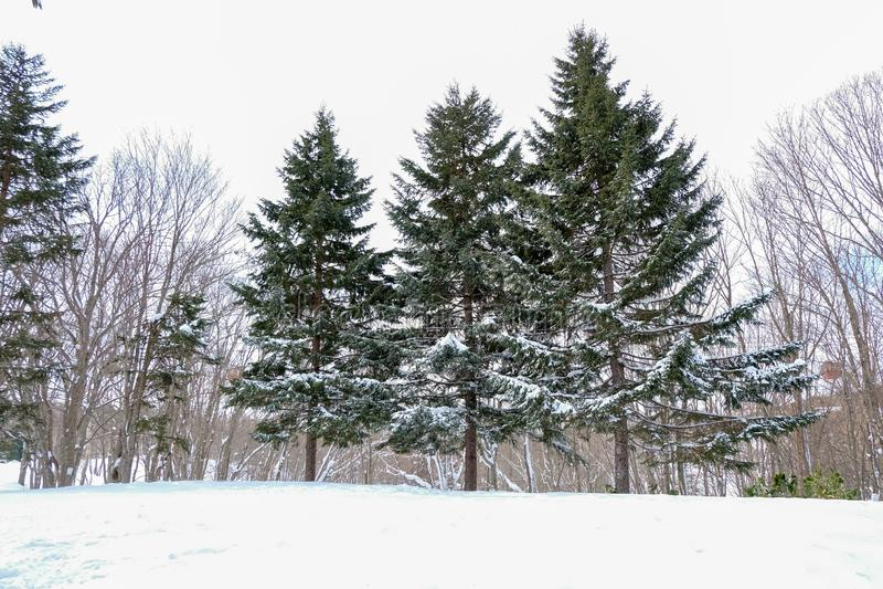 Neige sur le pin d'arbre dans l'eau chez le Japon photo libre de droits