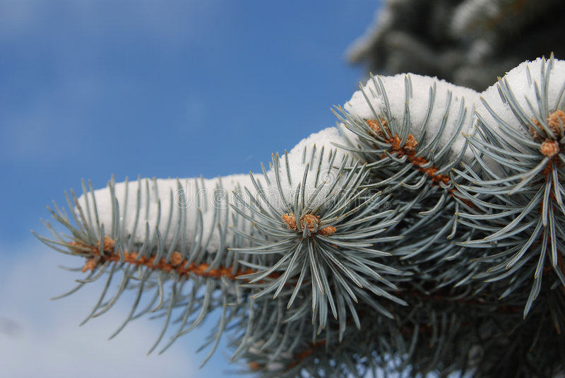 Neige sur le plan rapproché 2 d'arbre de sapin image libre de droits