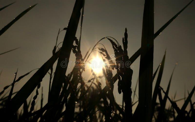 Neigende Reispflanze stockbild