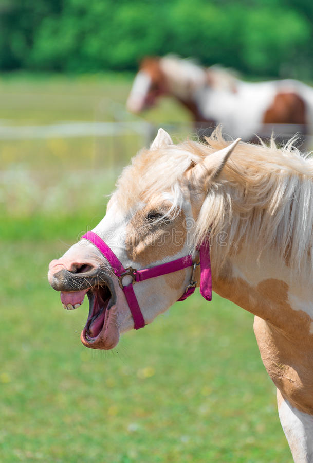 Neighing horse. royalty free stock photos