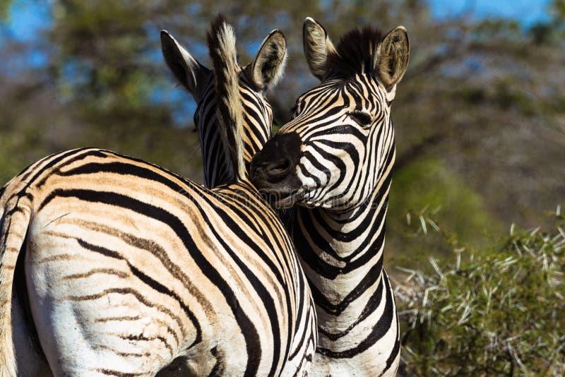Neigungs-wild lebende Tiere des Zebras lizenzfreie stockfotografie