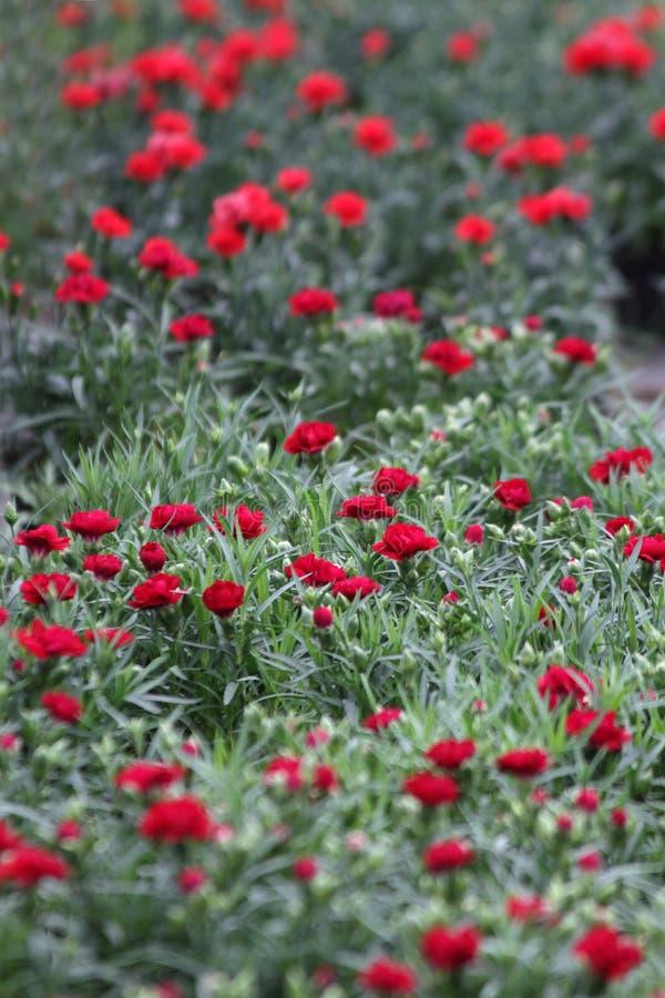 nejlika Fält av nejlikor med gröna blad och blommaknoppar i krukan för garnering eller gåva yellow för modell för hjärta för blom royaltyfri fotografi