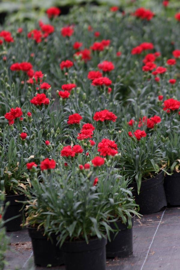 nejlika Fält av nejlikor med gröna blad och blommaknoppar i krukan för garnering eller gåva yellow för modell för hjärta för blom arkivfoto
