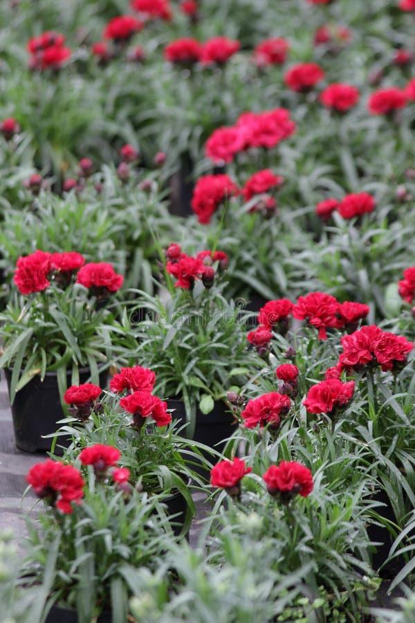 nejlika Fält av nejlikor med gröna blad och blommaknoppar i krukan för garnering eller gåva yellow för modell för hjärta för blom arkivfoton