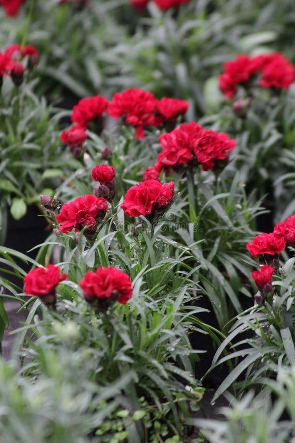 nejlika Fält av nejlikor med gröna blad och blommaknoppar i krukan för garnering eller gåva yellow för modell för hjärta för blom arkivbilder