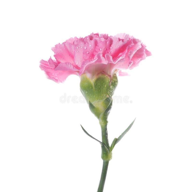 nejlika isolerad pink arkivfoton