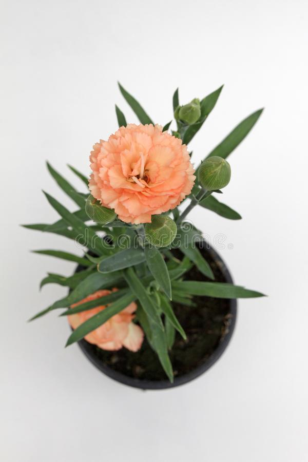 nejlika Nejlika med gröna blad och blommaknoppar i krukan för garnering eller gåva på vit bakgrund yellow för modell för hjärta f arkivbilder