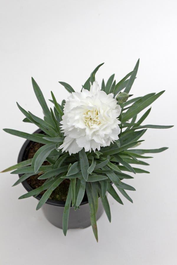 nejlika Nejlika med gröna blad och blommaknoppar i krukan för garnering eller gåva som isoleras på vit bakgrund yellow för modell arkivfoto