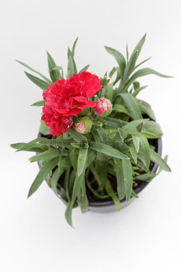 nejlika Nejlika med gröna blad och blommaknoppar i krukan för garnering eller gåva som isoleras på vit bakgrund yellow för modell arkivfoton