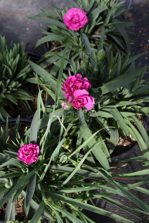 nejlika Nejlika med gröna blad och blommaknoppar i krukan för garnering eller gåva yellow för modell för hjärta för blommor för f royaltyfri foto