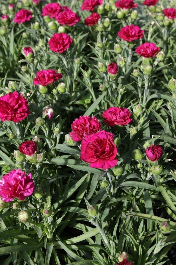 nejlika Nejlika med gröna blad och blommaknoppar i krukan för garnering eller gåva yellow för modell för hjärta för blommor för f arkivfoton