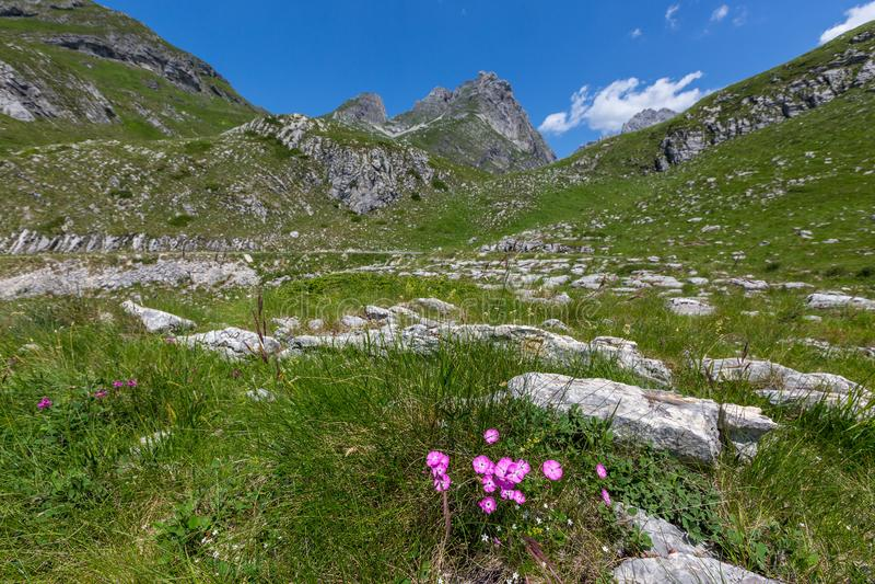 Nejlika mellan berg i Montenegro arkivbilder