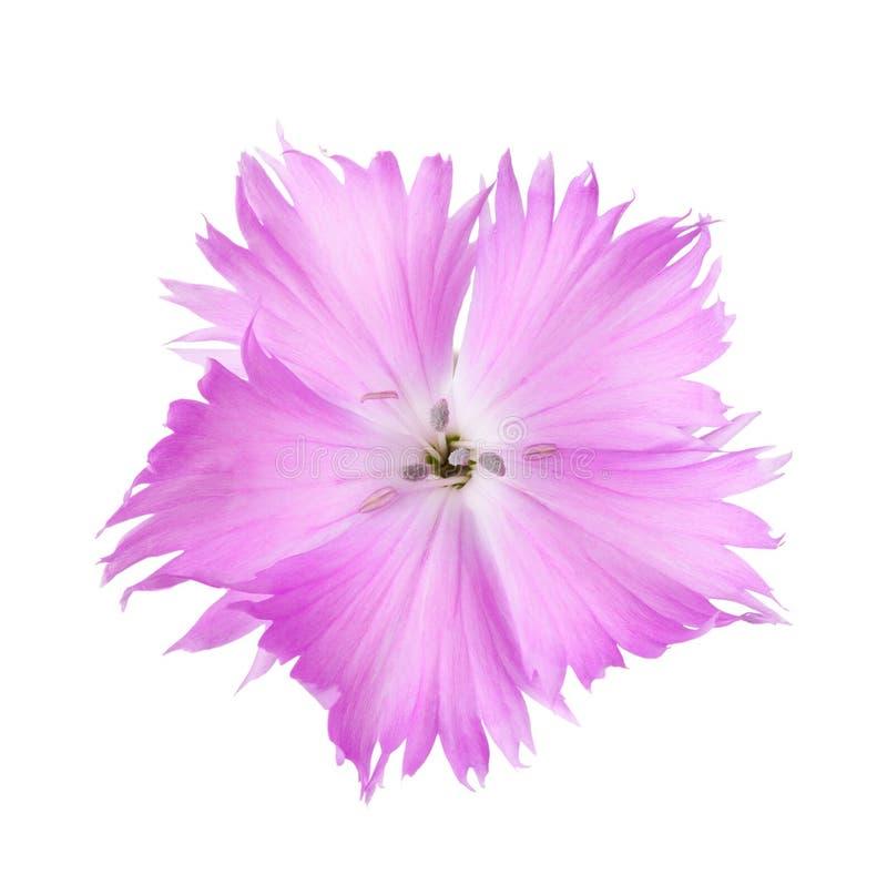 Nejlikablomma av lila färg som isoleras på vit bakgrund Dianthus arkivbilder