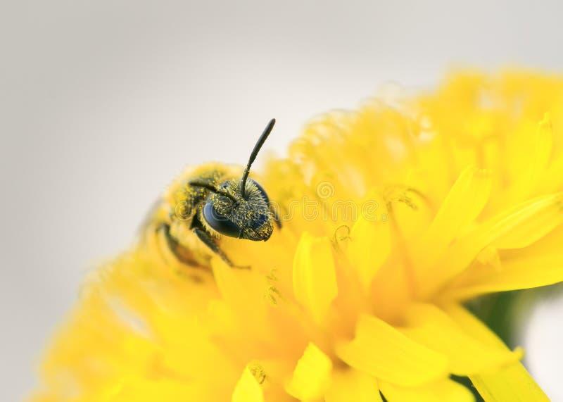 Nektar för honungbihopsamlingar från den gula blomman av maskrosen arkivfoto