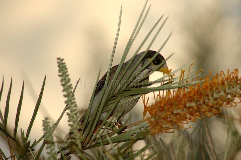 nektar rano obraz stock