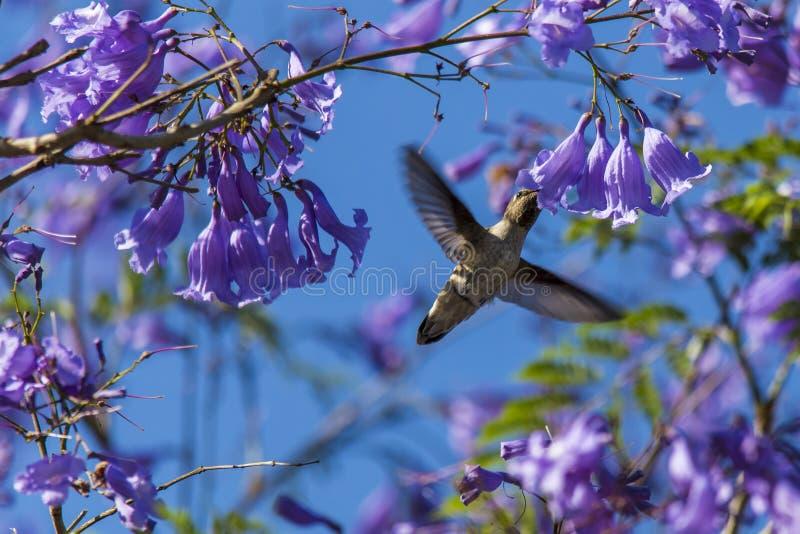 Nektaru ptak zdjęcie royalty free