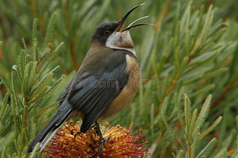 Nektaru Żywieniowy ptak obraz royalty free