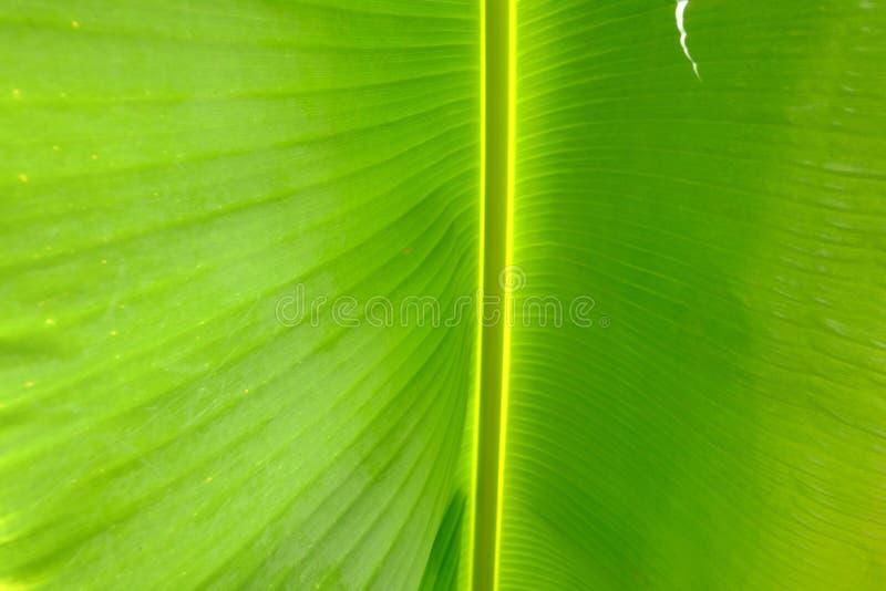 Nel modello della vena del fuoco selettivo di una foglia di palma tropicale della banana immagini stock libere da diritti