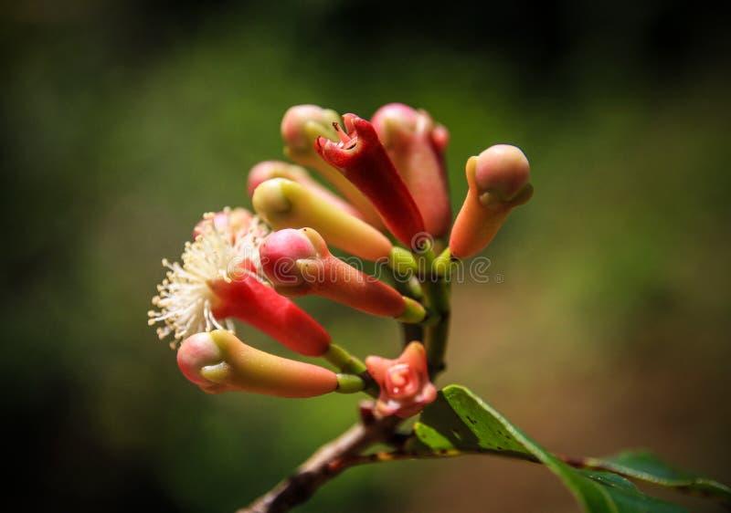 Nelken-Blumen-Knospen, St- Mary` s Insel, Analanjirofo-Region, Madagaskar stockbilder