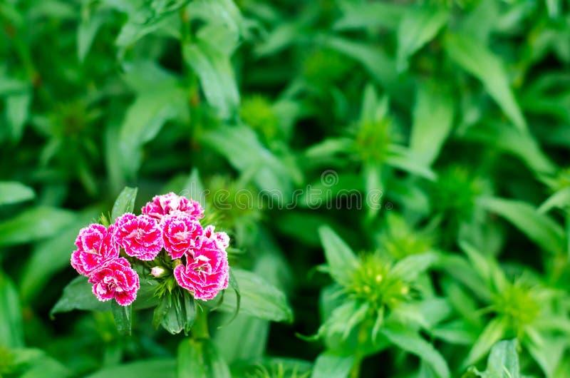 Nelken türkisch Dianthus barbatus Gartenpflanzen Blume beständig Nahaufnahme Horizontales Foto natürliche Tapete, Hintergrund für lizenzfreie stockbilder