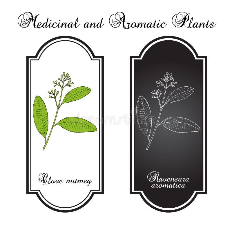 Nelkenmuskatnuss Ravensara-aromatica, aromatisch und Heilpflanze lizenzfreie abbildung
