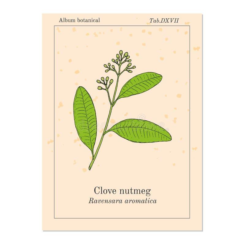 Nelkenmuskatnuss Ravensara-aromatica, aromatisch und Heilpflanze stock abbildung