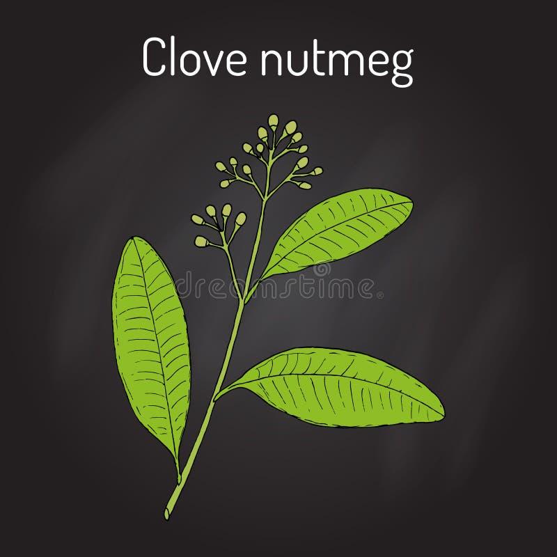 Nelkenmuskatnuss Ravensara-aromatica, aromatisch und Heilpflanze vektor abbildung