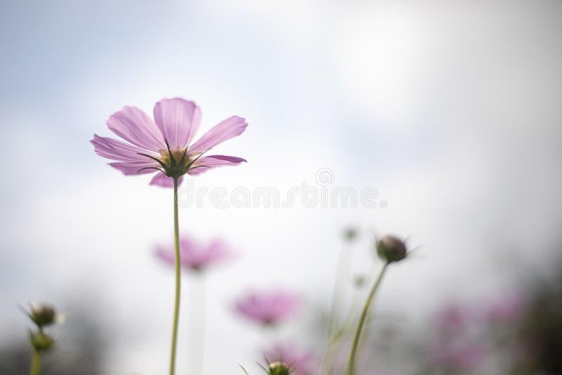Nell'ambito del fondo rosa del fiore e del cielo blu di cosmo fotografia stock libera da diritti