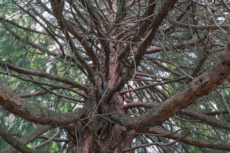 Nell'ambito della fine di vista dal basso della quercia su fotografia stock libera da diritti