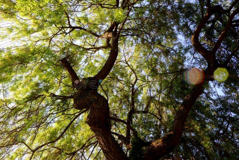 Nell'ambito della luce solare tetto verde sommerso di vecchio salice Luce solare che causa i chiarori e le riflessioni della lent fotografia stock libera da diritti
