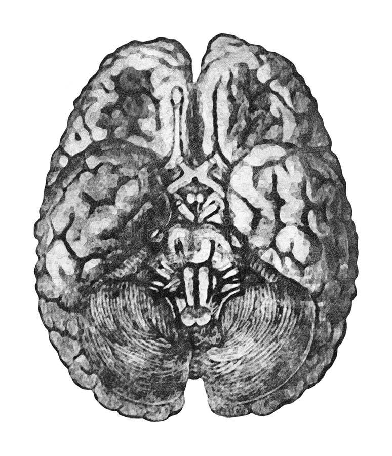 Nell'ambito di superficie del cervello Concetto di istruzione di anatomia - vista da sotto del cervello e del tronco cerebrale royalty illustrazione gratis