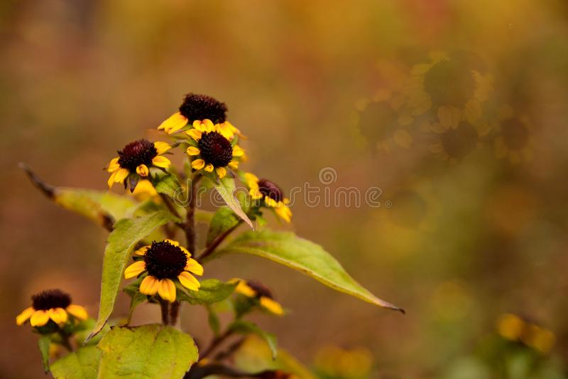 Nella camomilla gialla del campo fotografia stock