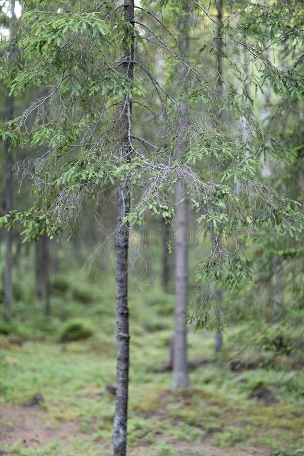 Nella foresta di conifere fotografia stock