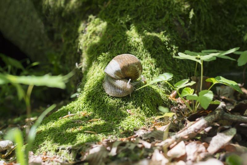 Nella foresta, la lumaca dell'uva striscia lungo il muschio sul vecchio albero fotografie stock libere da diritti