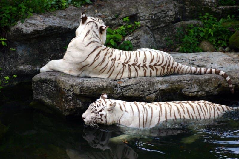 Nella nuotata - tigri bianche fotografia stock libera da diritti