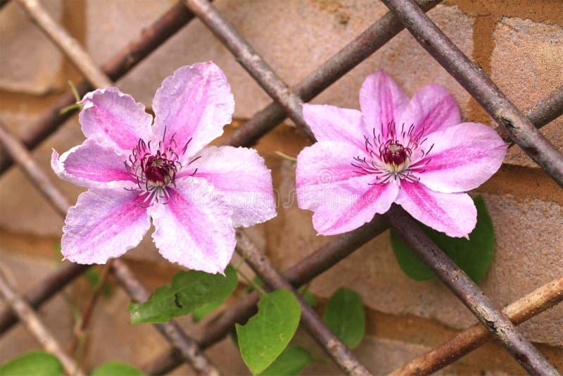 Nellie Moser Clematis, mit rosa und violettem Bi färbte Blumenblätter stockfoto