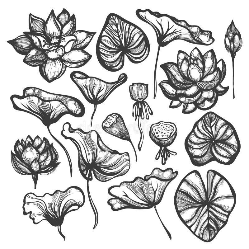 Nelumbo lotusbloem Reeks bloemen, knoppen, bladeren, zaadpeulen Schets bloemen botanische inzameling vector illustratie