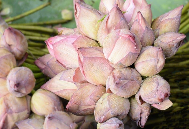 Nelumbo nucifera alias Inder Lotus, heiliger Lotos lizenzfreie stockfotografie