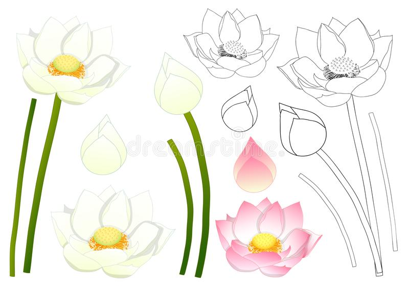 Nelumbo nucifera - Indian lotus, sacred lotus, bean of India, Egyptian bean. National flower of India and Vietnam. Vector royalty free illustration