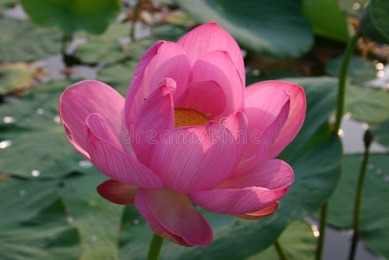 Nelumbo nucifera indiano di fioritura del loto fotografia stock