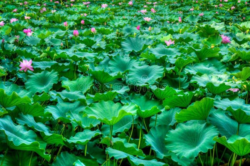 Nelumbo nucifera kwiatonośnych rośliien pole fotografia royalty free