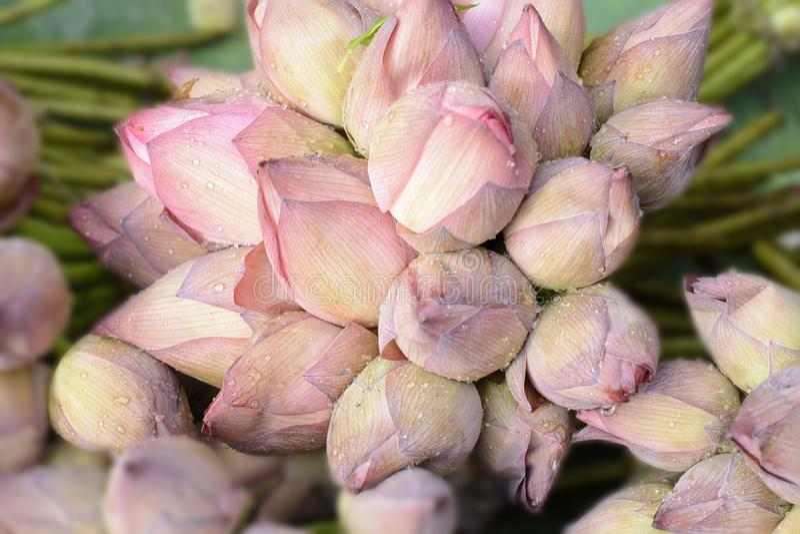 Nelumbonucifera als Indisch Lotus, heilige lotusbloem ook wordt bekend die royalty-vrije stock afbeelding