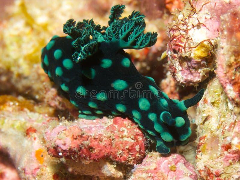 Nembrothacristata stock afbeelding