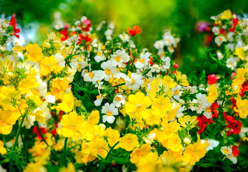 Nemesia and spreading stonecrop with bee in center of picture. Nemesia and spreading stonecrop combinated with bee in center of picture royalty free stock photo