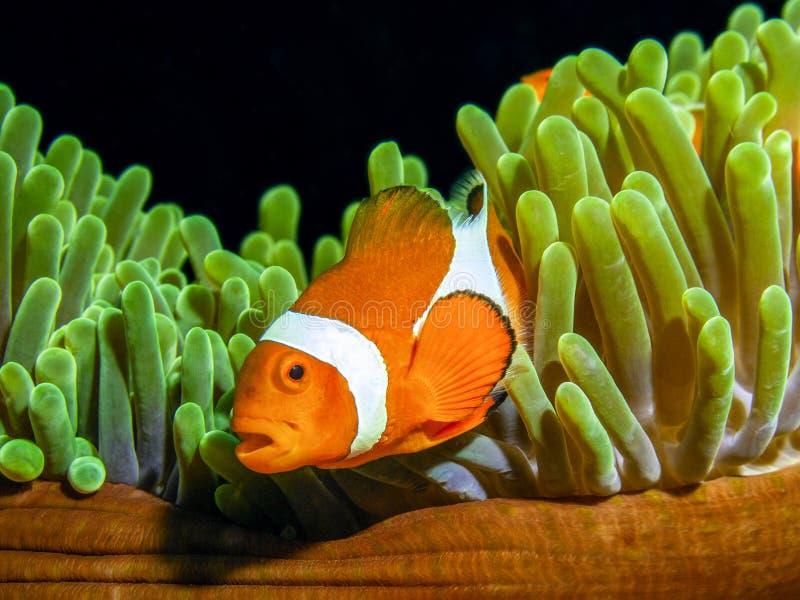 Nemo名望,Ocellaris clownfish小丑鱼  免版税库存图片
