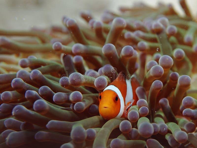Nemo小丑银莲花属鱼 图库摄影