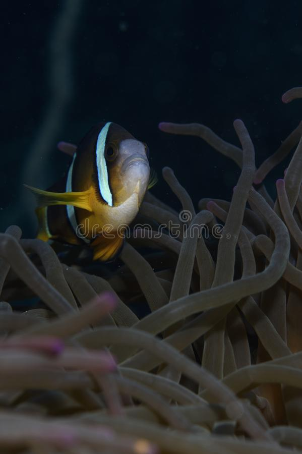 Nemo που κολυμπά μέσα σε Anemone υποβρύχιο στοκ εικόνα